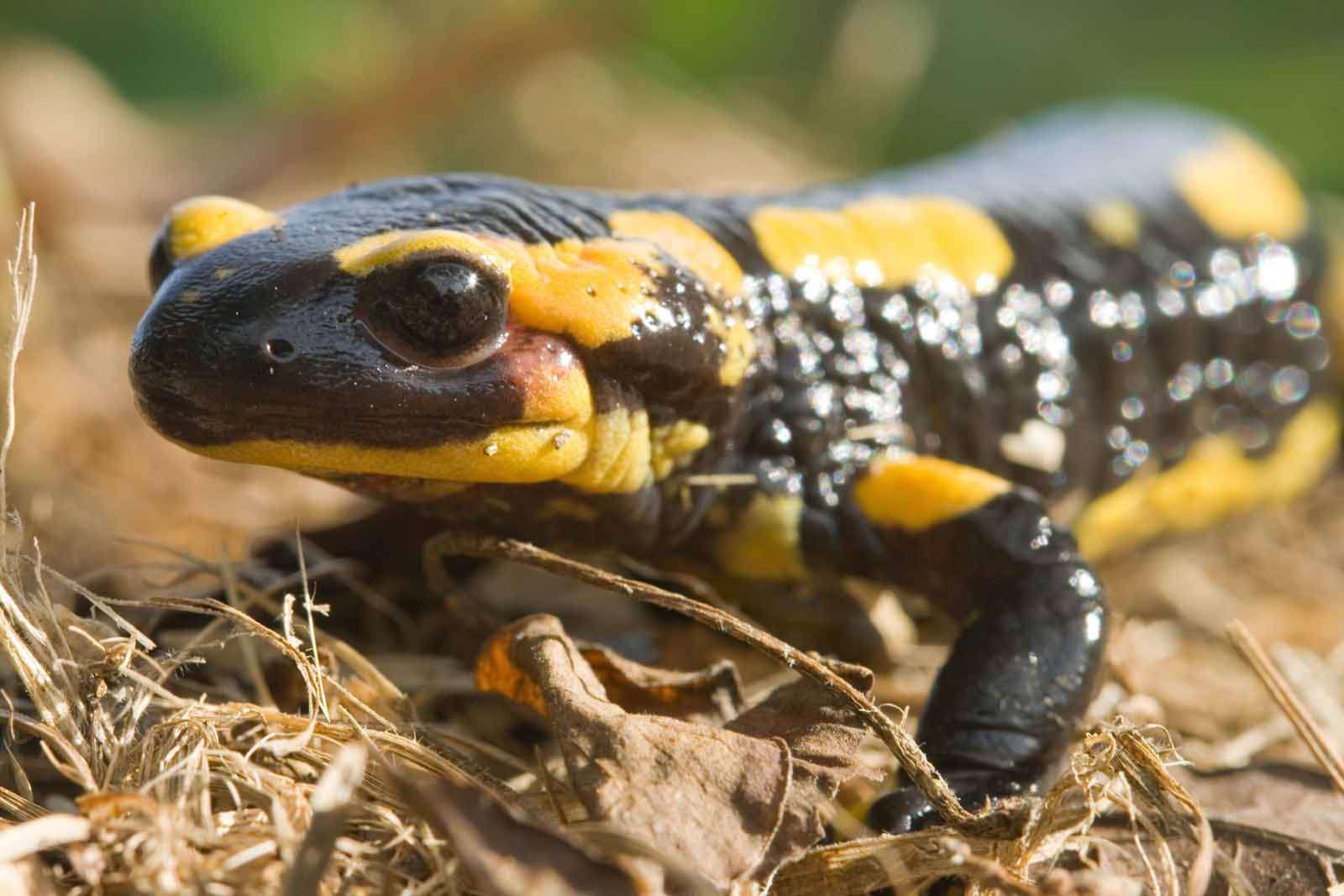 Salamandre tachetée - Crédit : EHolder