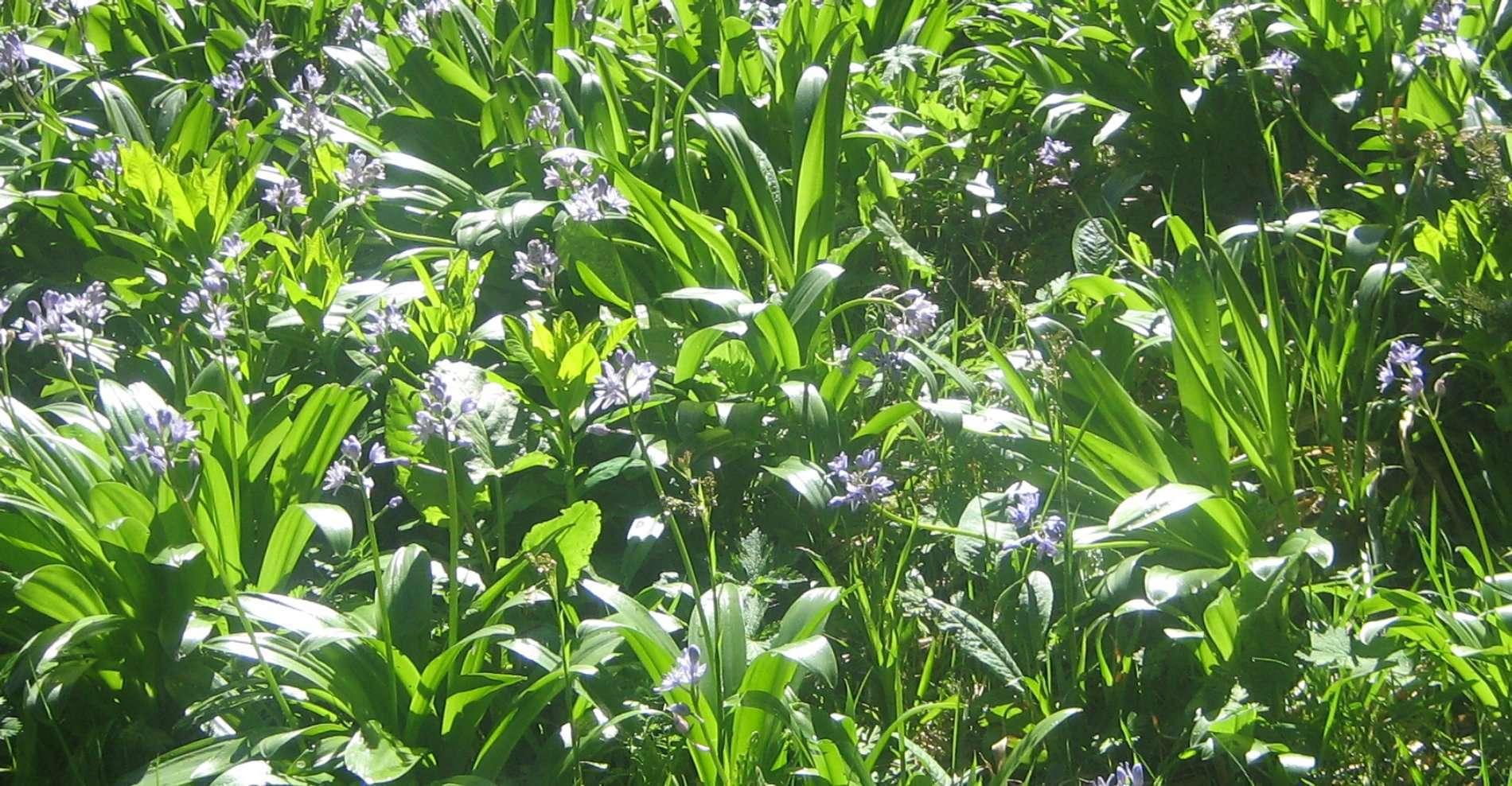 Scille lis-jacinthe (crédits: Evelyne Liauzun)