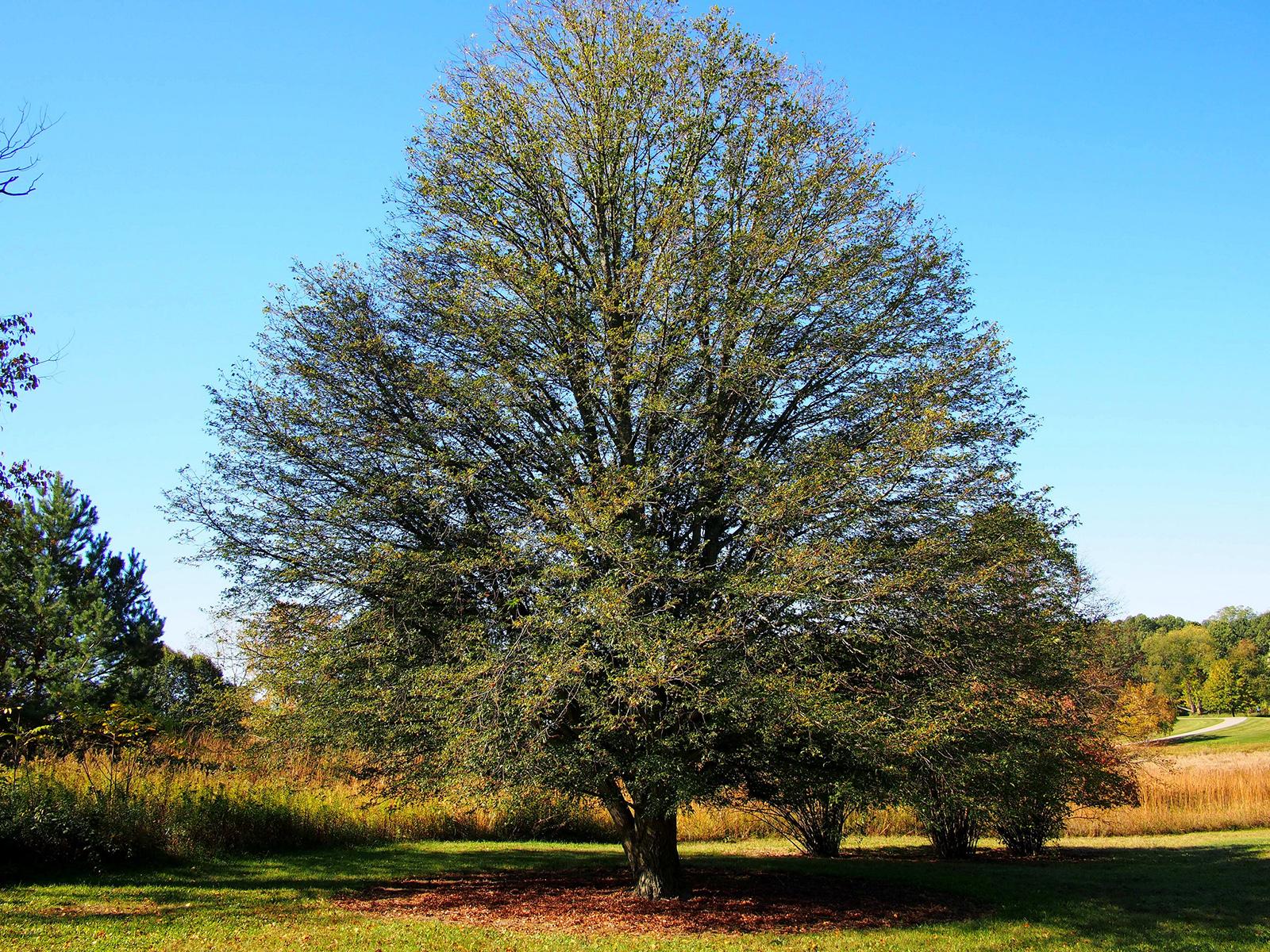 Tilleul à grandes feuilles, port global. Crédits : F.D. Richards - Flickr