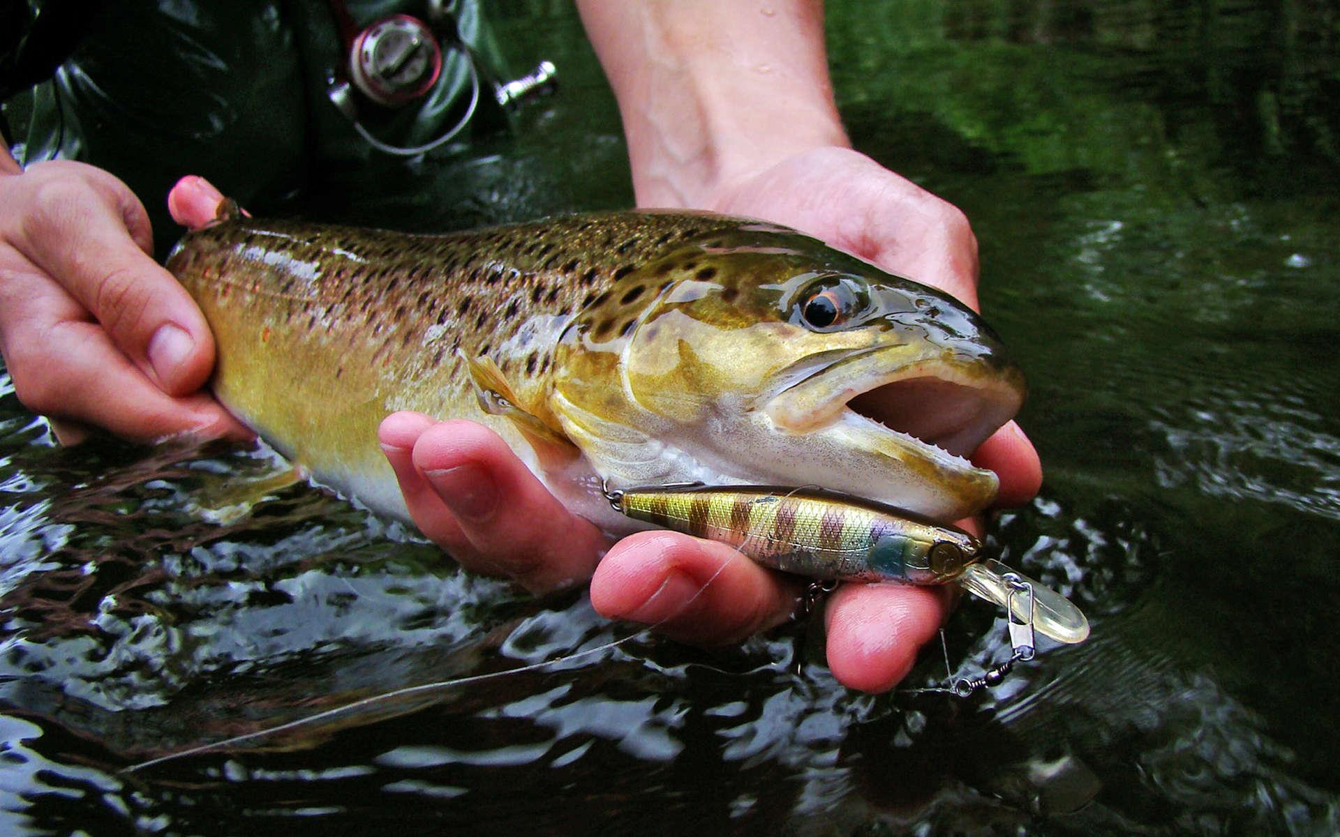 Truite fario dans la main d'un pêcheur (Crédits Illex Squirrel - Flickr)