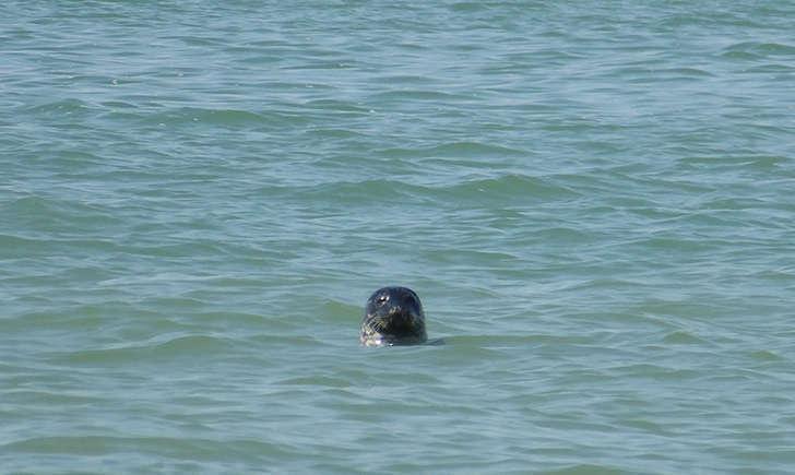 Phoque veau marin (Crédits: Stéphanie Ritz)