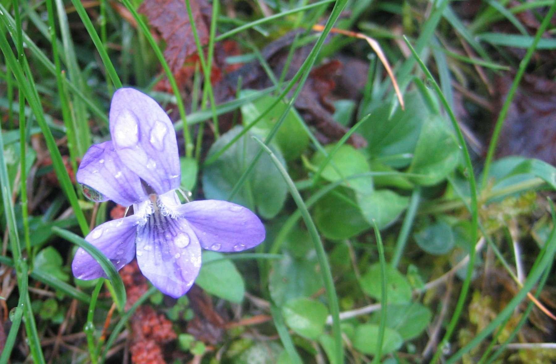 Violette odorante (crédits: Evelyne Liauzun)