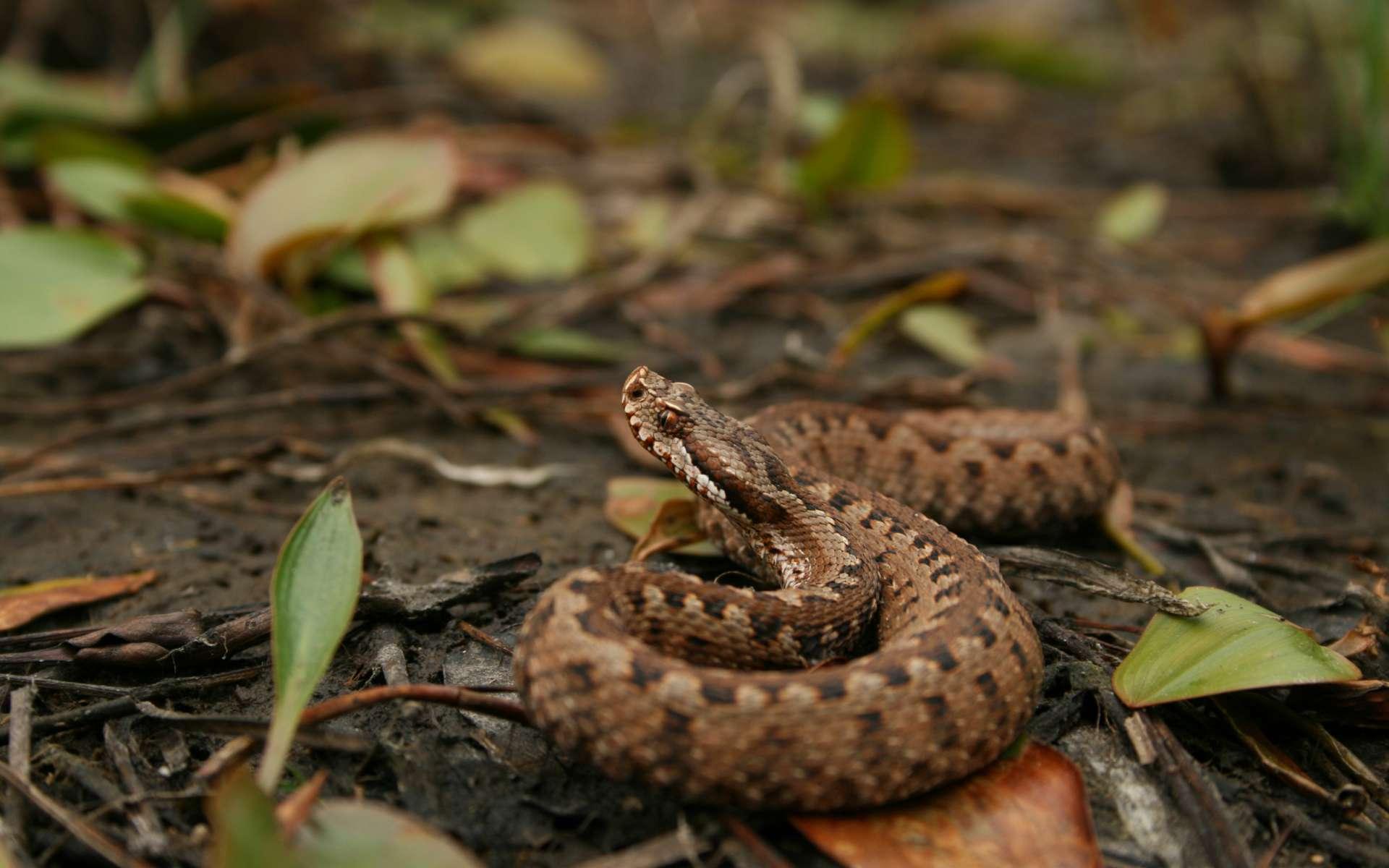Vipère aspic sous espèce zinnekeri (Crédits : David Sautet)