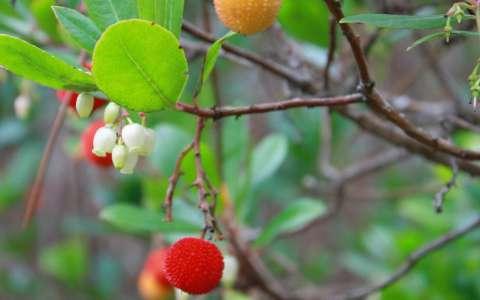 Arbousier ou arbre à fraises