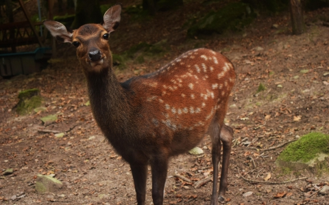 Cerf sika