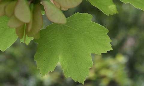 Érable à feuilles d'obier