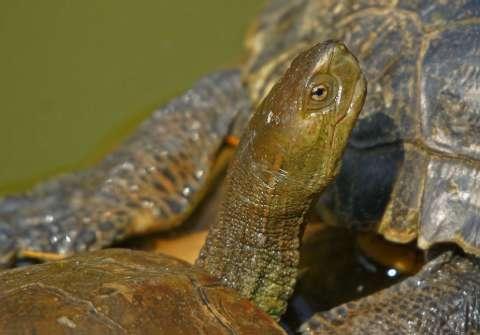 Emyde lepreuse