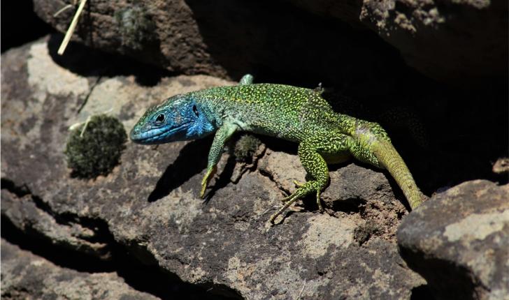 Palhàs de Molompize_Lézard vert mâle (Crédit : Laura Azzolina)