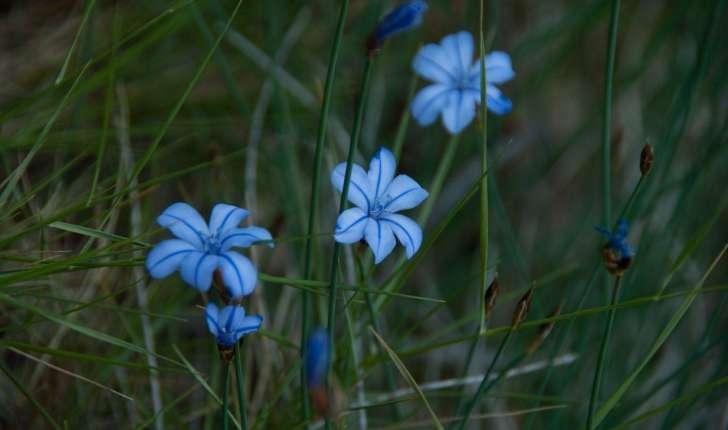 Aphyllante de Montpellier - visible sur la balade de Puyloubier (Credits : Cédric Seguin)