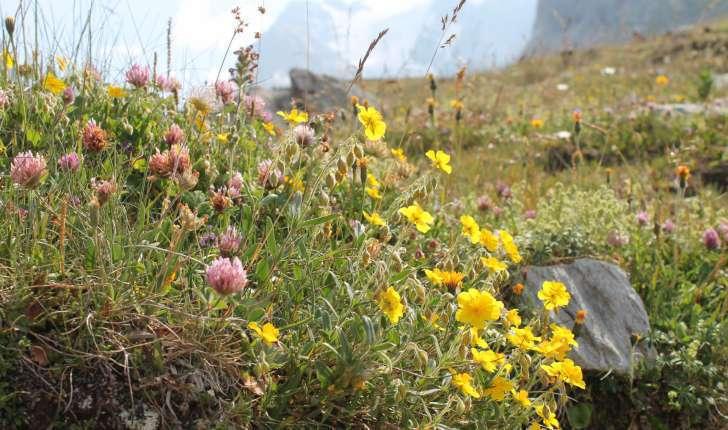 Randonnée au col de la Vanoise - Alpages fleuris (Crédits : Léa Charbonnier)