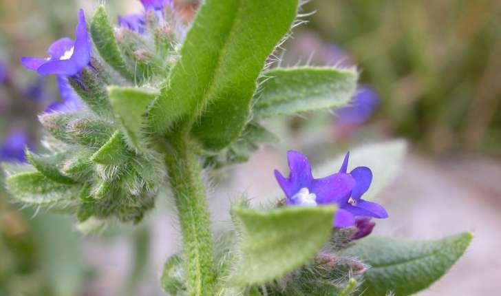 Anchusa officinalis (L., 1753)