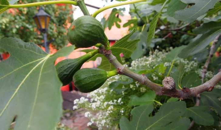 Ficus carica L., 1753