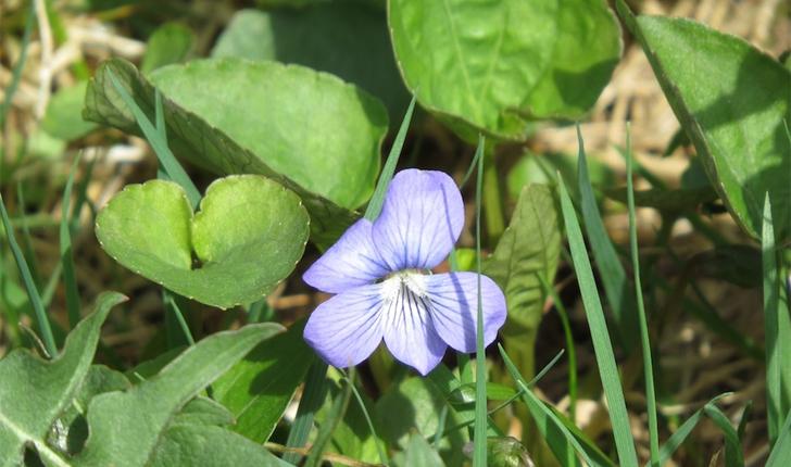 Viola cucullata (Aiton, 1789)