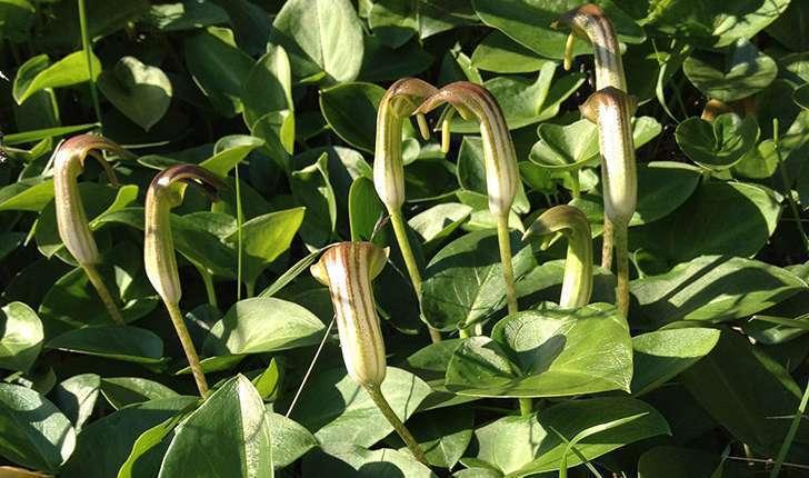 Arisarum vulgare (O.Targ. Tozz, 1810)
