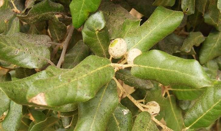 Quercus ilex (Linné, 1753)