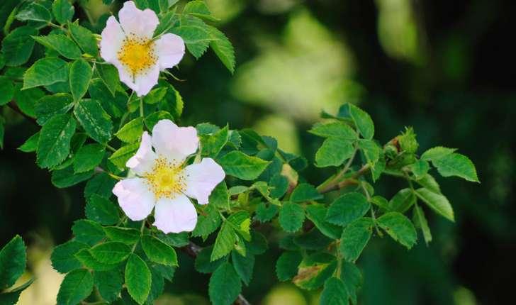 Rosa sp (L., 1753)
