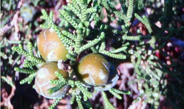 Juniperus phoenicea (Linné, 1753)