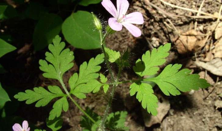 Geranium robertianum (Linné, 1753)