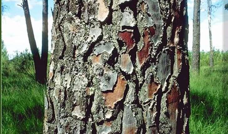 Pinus pinaster (Aiton, 1789)