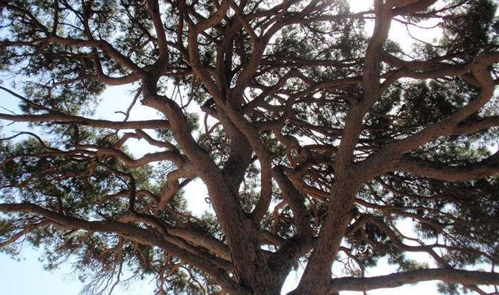 Pinus pinea (Linné, 1753)