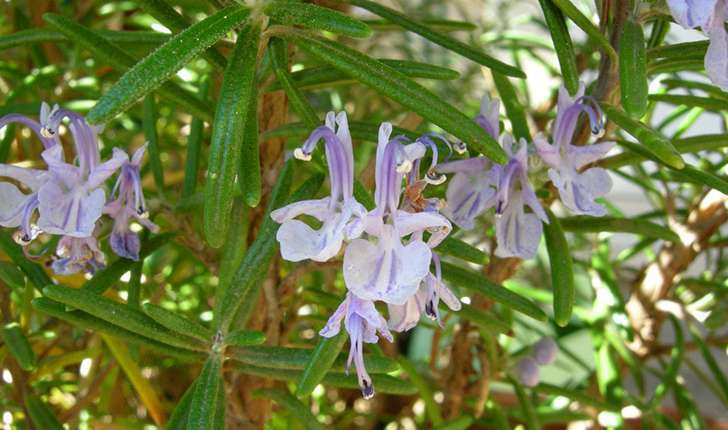 Rosmarinus officinalis (Linné, 1758)