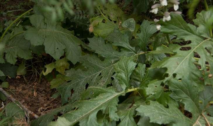 Acanthus mollis (Linné, 1753)