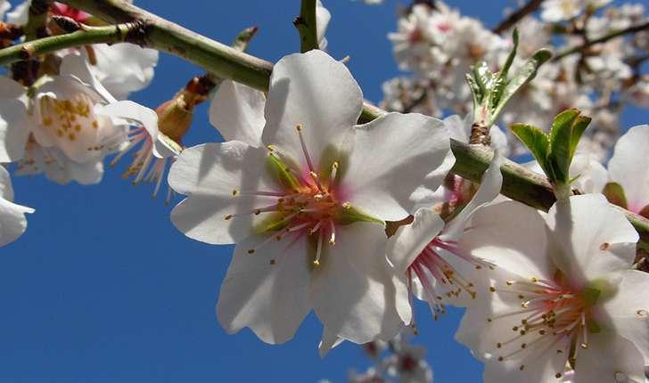 Prunus dulcis (Mill. D.A.Webb, 1967)