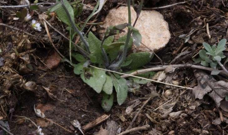 Arabidopsis thaliana (Heynh 1842)