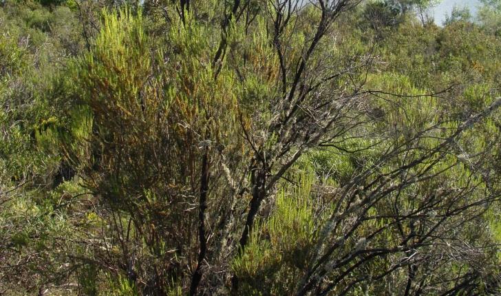 Erica scoparia (L., 1753)