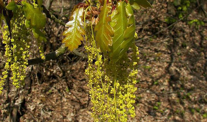 Quercus petraea (Liebl., 1784)