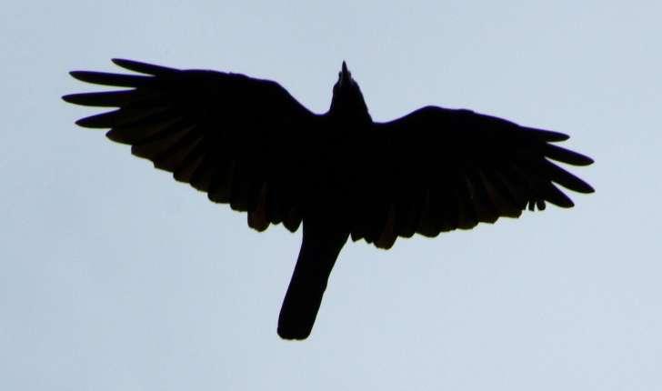 Corvus corone (Linnaeus, 1758)