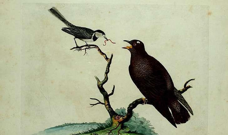 Cuculus canorus (Linnaeus, 1758)
