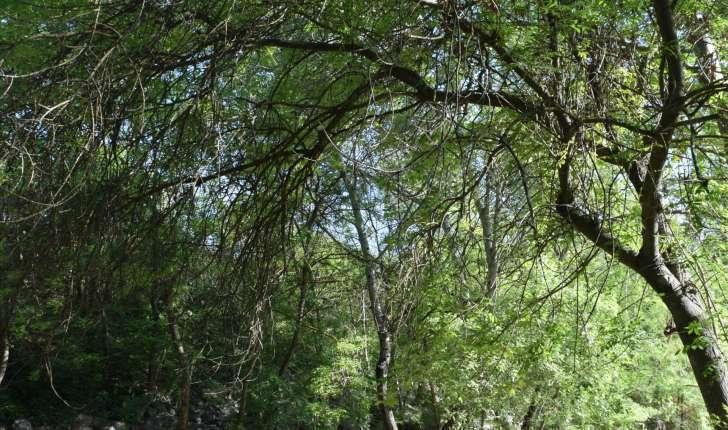 Fraxinus angustifolia Vahl