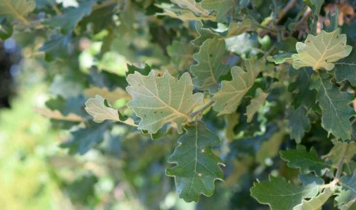 Quercus pubescens (Wild, 1805)