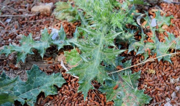 Cirsium vulgare (Savi, 1838)