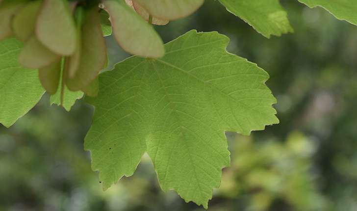 Acer opalus Mill., 1768