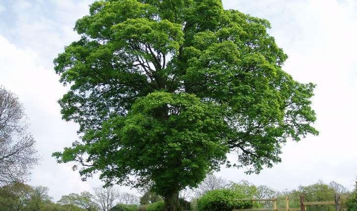 Acer pseudoplatanus (L., 1753)