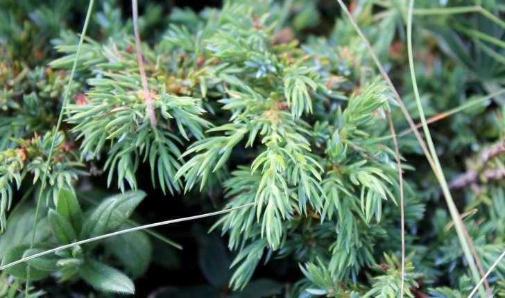 Juniperus communis subsp. nana ((Hook.) Syme, 1868)