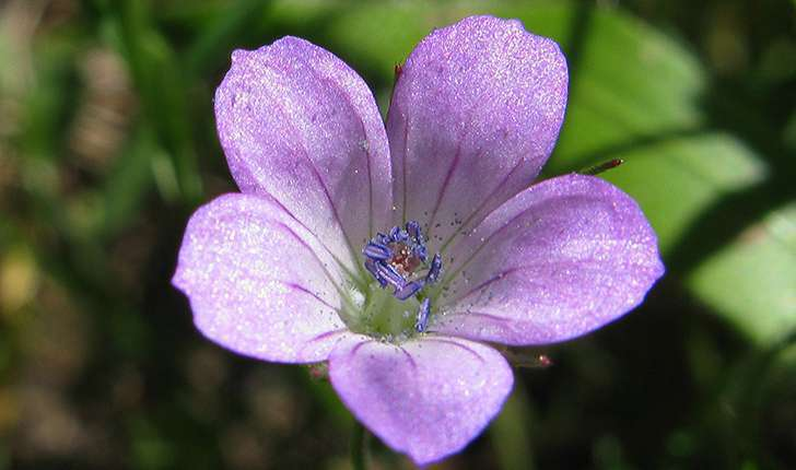 Geranium columbinum L., 1753