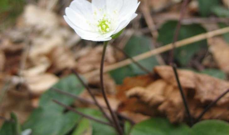 Anemone hepatica L.