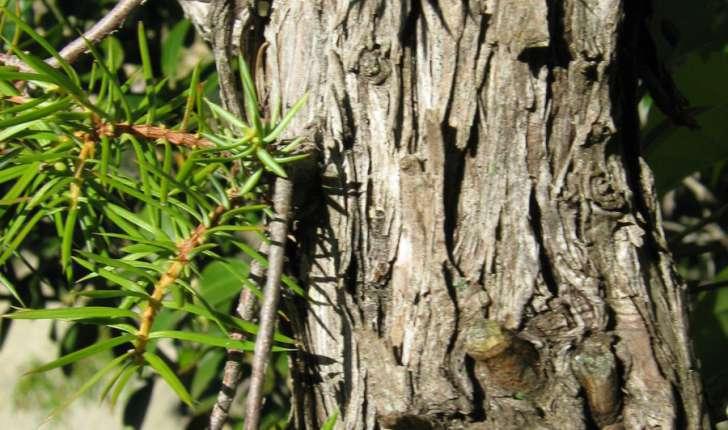 Juniperus communis (L., 1753)