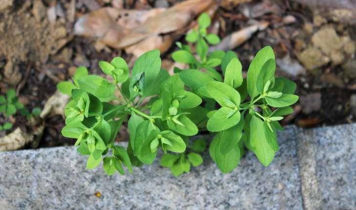 Euphorbia peplus (L., 1753)