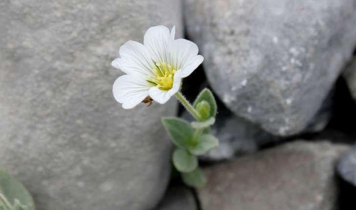 Cerastium latifolium (L., 1753)