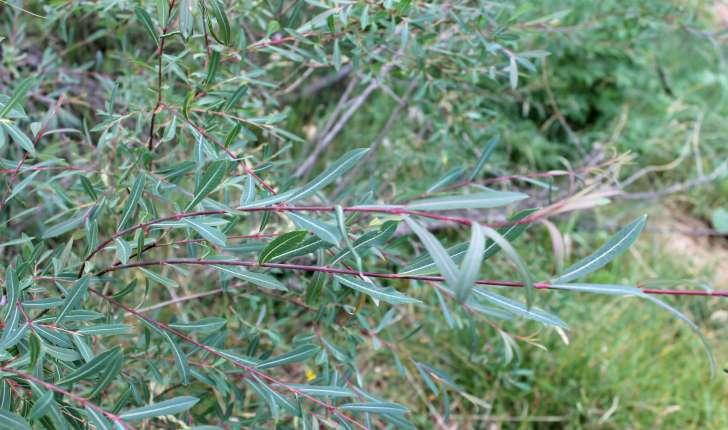 Salix purpurea (L., 1753)