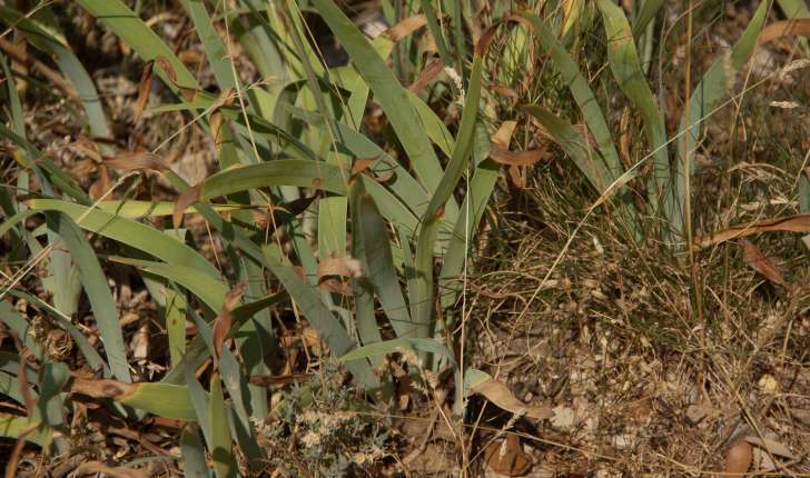 Iris lutescens (Lamarck, 1789)
