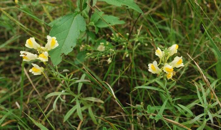 Linaria vulgaris (Mill., 1768)