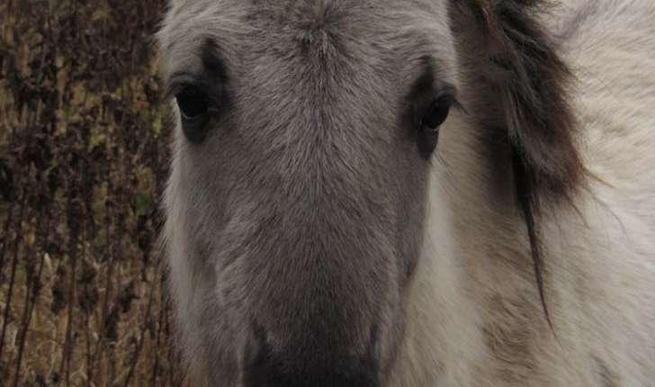 Equus caballus (Linnaeus, 1758)