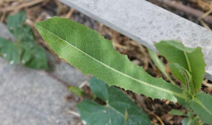 Lactuca serriola (L., 1756)