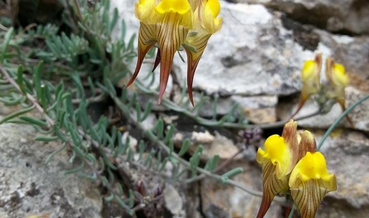 Linaria supina, (L.) Chaz. 1790
