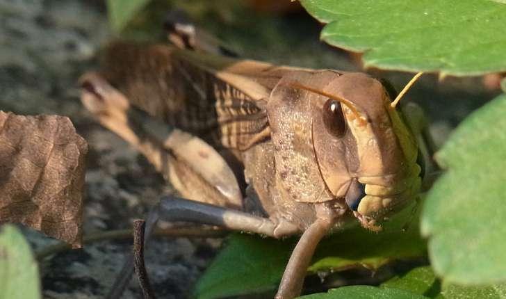 Locusta migratoria (Linné, 1758)